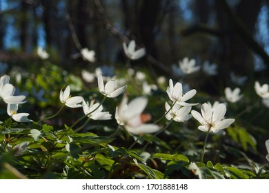 Wild white Anemone nemorosa flowers in the forest at sunshine. Known also as windflower, wood Anemone, thimbleweed.
