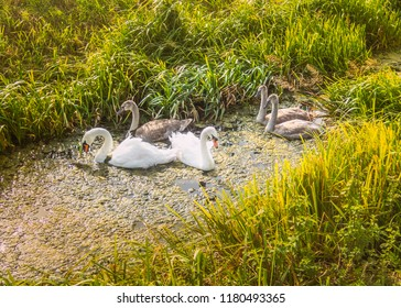 wild white bird swan family of cob, pen and maturing cygnets on a stream protected by long grass