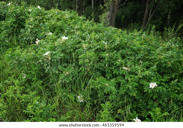 wild white briar bush with flowers