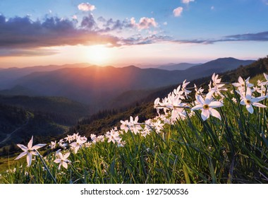 Wild white daffodil flowers. Amazing sunset with rays illuminates the horizon. Sky with clouds. High mountains in haze. Summertime wallpaper background. Natural landscape.