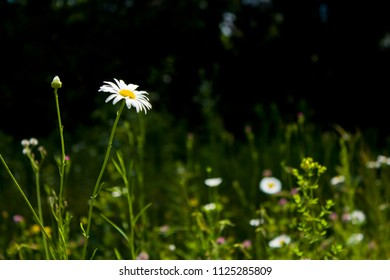 Wild White Daisy in a Natural Grassy Green Field