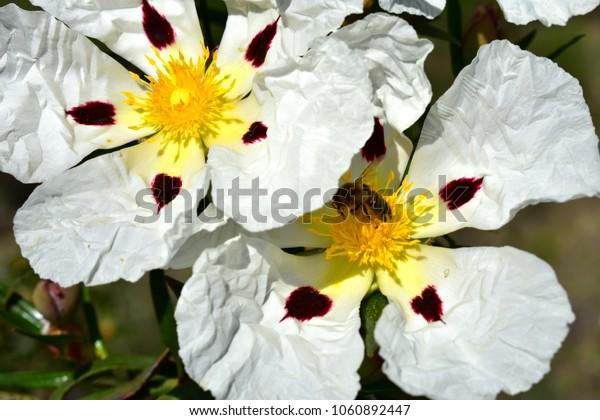 Wild white flower Rockrose