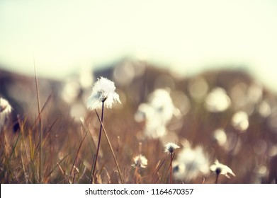 Wild white fluffy plants in Greenland. Macro image, shallow depth of field.