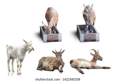 wild white goat set isolated on white background