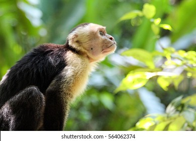 Wild White headed Capuchin monkey close up in the rain forest