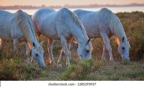 Wild white horses grazing on the meadow . Colorful sunrise