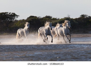 Wild white horses are running in the water .Sunset in Camargue , France