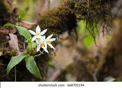 Wild white orchid flower (dendrobium christyanum) on tree branch in the Doi Inthanon national park, Thailand