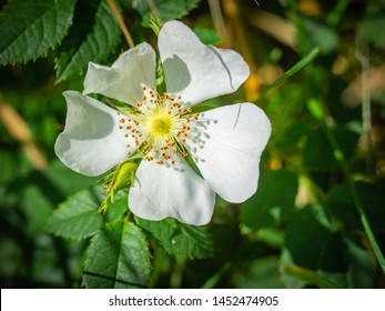 Wild white rose , emblem of Yorkshire