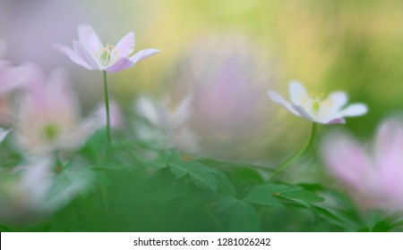 Wild white spring flowers, wood anemone nemerosa. Soft focus macro of forest wildflowers on a blurred background.
