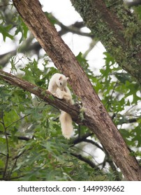 A wild white squirrel grooms itself in a large tree in Brevard, North Carolina.  The color is caused by a genetic mutation.