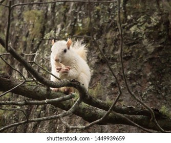 A wild white squirrel pauses for a snack in a large tree in Brevard, North Carolina.  The color is caused by a genetic mutation.