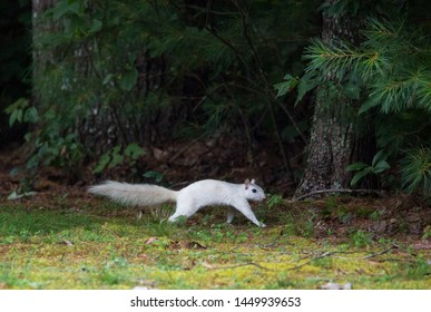 A wild white squirrel scampers for cover on the edge of a forest in Brevard, North Carolina.  The color is caused by a genetic mutation.