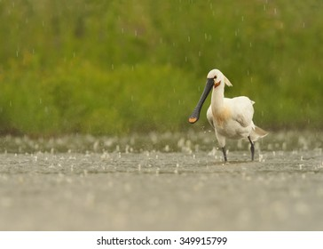 Wild white water bird Eurasian Spoonbill Platalea leucorodia, searching for fish , wading in the lagoon during heavy rain. Action photo of big water bird in its natural environment. European wildlife.