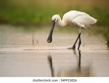 Wild white water bird Eurasian Spoonbill Platalea leucorodia, searching for fish , wading in the lagoon. Calm water surface reflecting orange sky, spoonbill and green background. European wildlife.