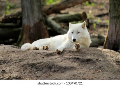 Wild white wolf in the woods
