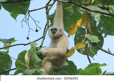 Wild White-handed Gibbon in a Teak Tree in Khao Yai National Park, Thailand