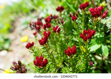 Wild white-red flower on the mountain place. Lupins blossom on Kashmir mountain meadow. Lupine flowers field. Mountains on the background. Bright pink Lupinus, commonly known as lupin or lupine.
