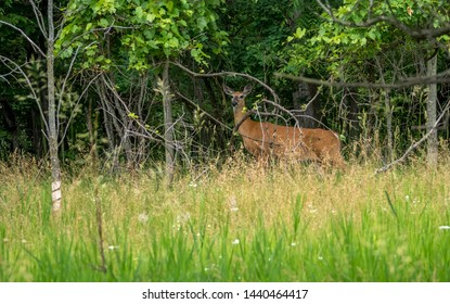 Wild whitetail deer in a city woodland public park in summer