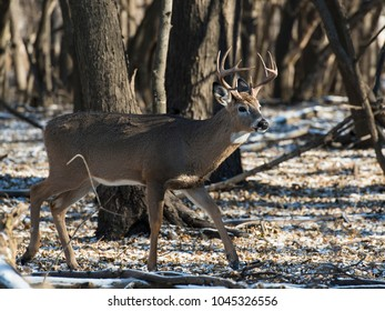 A Wild Whitetail Deer in late autumn in Minnesota