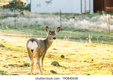 Wild white-tail deer standing on grass near a home.