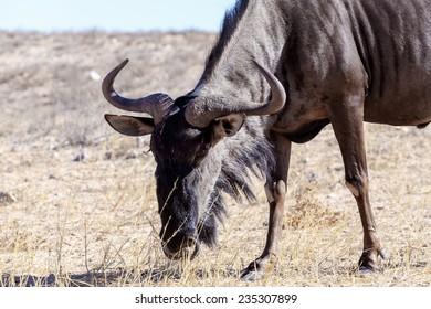 A wild Wildebeest Gnu grazing grassland, Kgalagadi Transfrontier Park, Botswana, true wildlife