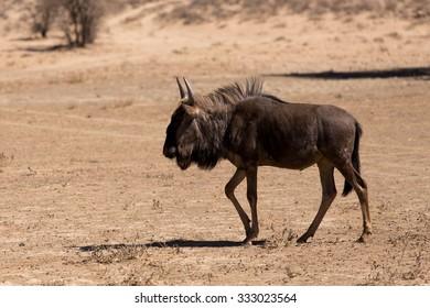 wild Wildebeest Gnu grazing, Kgalagadi, South Africa, wildlife