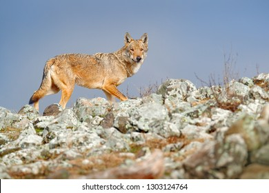 Wild Wolf, Canis lupus, in the nature habitat. Beautiful animal in stone hill, face contact in the rock, Romania. Wildlife scene from nature. Portrait of predator, beautiful wolf.