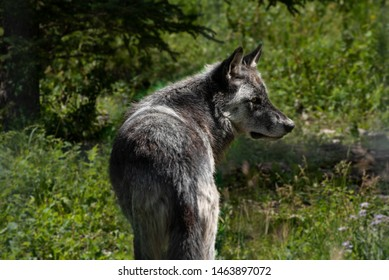 WIld wolf dog in the forest of Banff National Park Alberta Canada