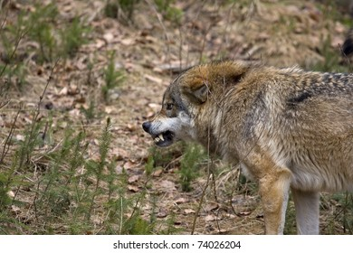 a wild wolf is growling