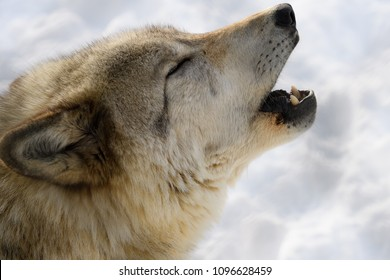 Wild wolf howling
