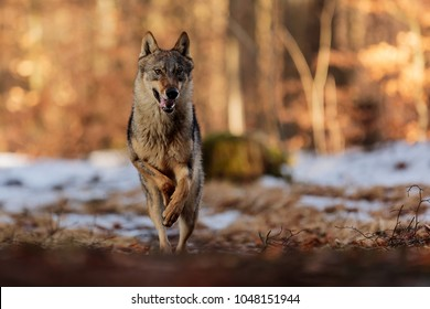 wild wolf is running from forest