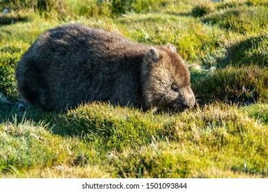 Wild wombat eating grass in Cradle mountain national park, Tasmania, Australia.