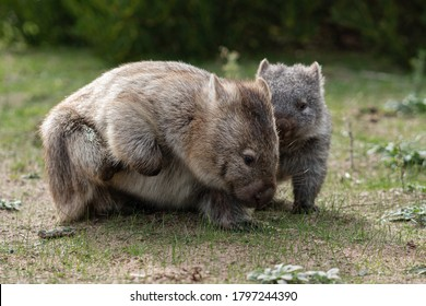 Wild wombat mother and her little Joey having family time at Prom Wildlife Walk, Wilsons Promontory, Victoria, Australia