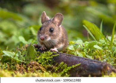 Wild Wood mouse (Apodemus sylvaticus) peeking from behind a log on the forest floor