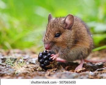 Wild Wood Mouse Eating Blackberry