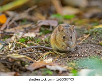 Wild Wood mouse resting on the root of a tree on the forest floor with lush green vegetation. House Mouse (Mus domesticus). gray mouse in nature