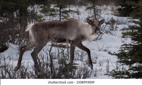 A wild woodland Caribou in Northern BC