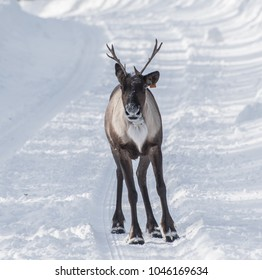 A wild woodland Caribou (Northern Mountain population), only 60 remain in this individuals herd