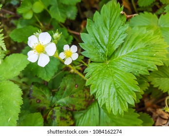 Wild, woodland or european strawberry, Fragaria vesca, growing in Galicia, Spain