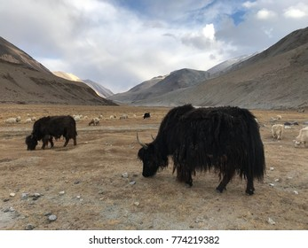 Wild yak eating grasses in a field with mountains and nature background in Ladakh , India