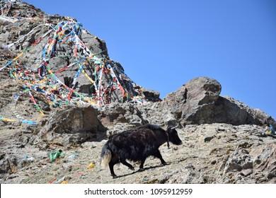 Wild yak walking through the Tibetan plateau.