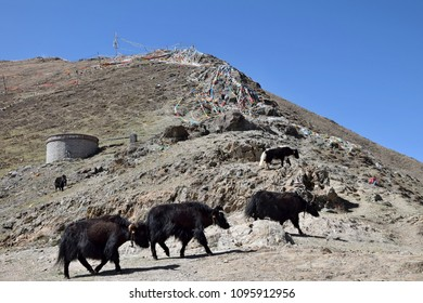 Wild yaks walking through the Tibetan plateau.