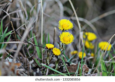 Wild yellow coltsfoot (tussilago farfara)  flowers. Group of spring flowers.