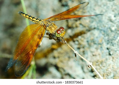 Wild yellow Common Amberwing (Brachythemis contaminata) dragonfly resting on a dry grass close up with stone wall background at Yogyakarta, Indonesia, Southeast Asia.