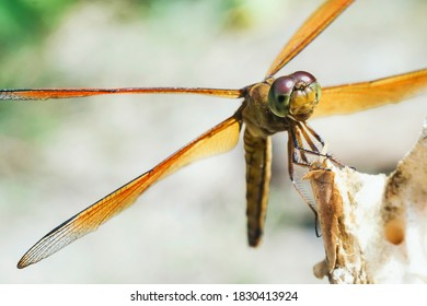 Wild yellow Common Amberwing (Brachythemis contaminata) dragonfly resting on a dry wood log close up with stone wall background at Yogyakarta, Indonesia, Southeast Asia.