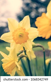 Wild yellow daffodil Narcissus Hospodar daffodils spring flowers with matte vintage finish - Shutterstock ID 1068342749