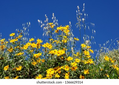 Wild yellow daisies decorated with dried oats spigot in the highlandas of La Libertad-PERU