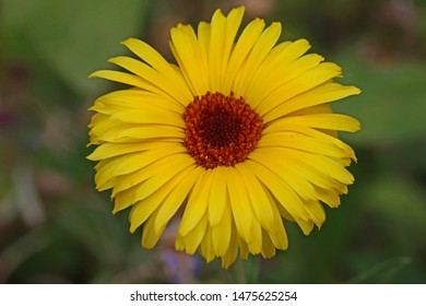 wild yellow daisy also called yellow chrysanthemum maxim or shasta daisy with an orange centre close up in summer in Italy