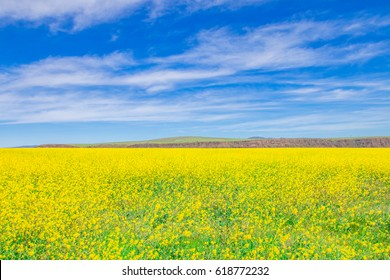 wild yellow flower field and blue sky.